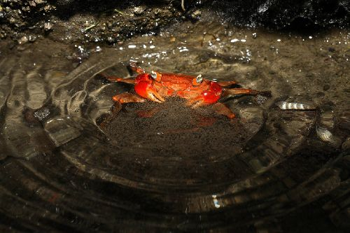Jp_crab00060