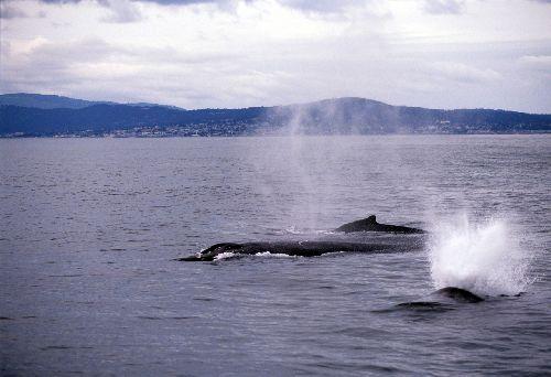 Ca_whale005