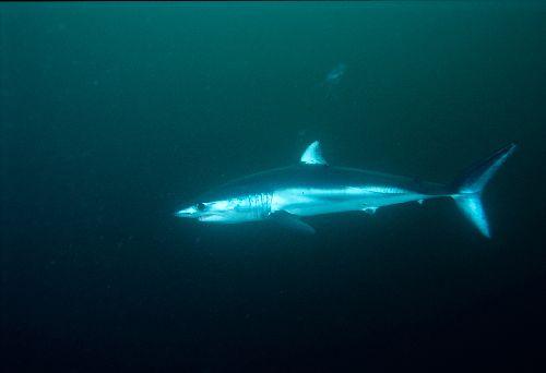 Ca_shark004