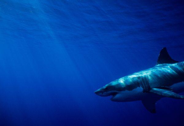 ホホジロザメの画像 p1_38