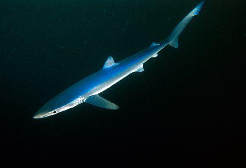 Ca_shark001