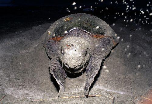 Jp_turtle014