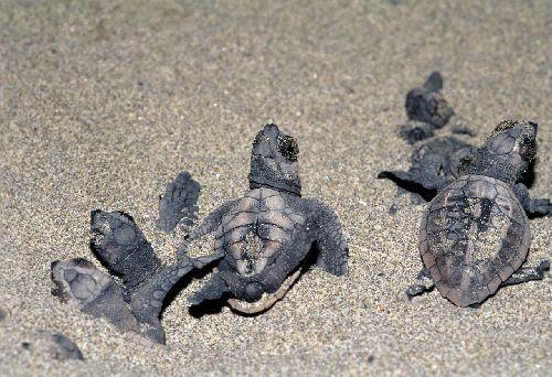Jp_turtle051